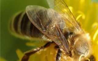 Как принимать пчелиный подмор: польза и вред