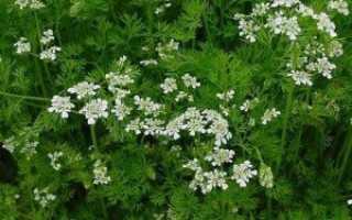 Кориандр – описание,время цветения, особенности медосбора и медопродуктивность