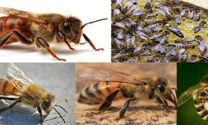 Кавказская порода пчел – особенности