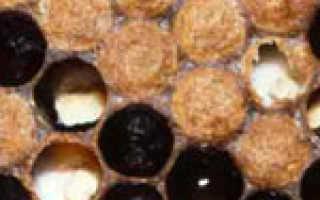 Аспергиллез пчел или каменный расплод
