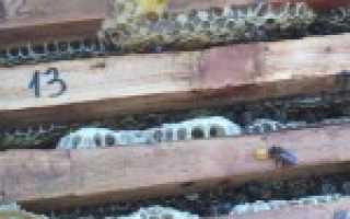 Пчелиный коллапс: причины и их решение