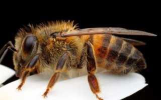 Почему слон боится пчел? Как пасеки и записи жужжания пчел могут отпугивать слонов