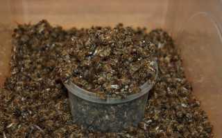 Подмор пчелиный: лечебные свойства при онкологии