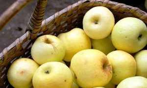 Медовые яблоки – описание сорта, где и когда был выведен, характеристика, секреты агротехники