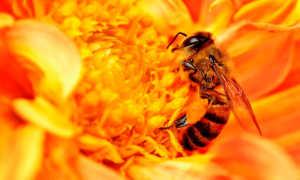 Африканские пчелы-убийцы – повадки, внешний вид, места обитания, опасность, как защититься от укусов