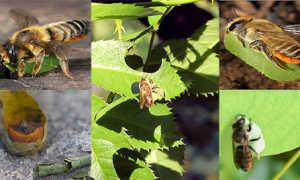 Пчелы-листорезы – образ жизни, распространение, особенности поведения, польза и вред, методы борьбы
