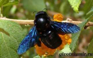 Черная пчела плотник – описание (фото, видео)