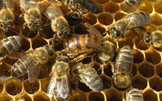 Чем питаются пчелы и что они любят