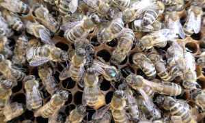 Породы пчел в России и их характеристика