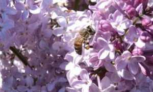 Медопродуктивность растений – для чего ее важно знать и учитывать при размещении пасеки? Таблица медопродуктивности различных растений