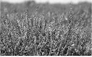Козлятник восточный – описание, медоносность, свойства, агротехника