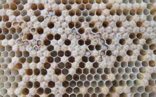 Аскосфероз пчел: профилактика и лечение химическими и народными средствами