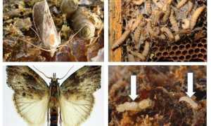 Бабочка огневка — вредитель для пчёл