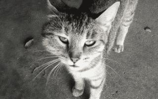 Собаку или кота укусила оса – что делать?
