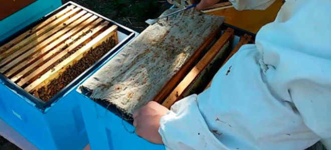 Пчеловодство: быстрое увеличение пасеки и размножение пчёл