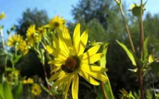 Сильфия пронзеннолистная – описание, распространение, медоносность, характеристика меда, агротехника