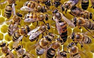 Пчелиная матка: как найти, сколько живет, фото