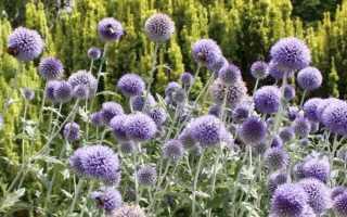 Мордовник шароголовый – описание, сроки цветения, медопродуктивность, агротехника, лечебные свойства