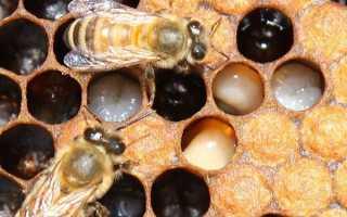 Болезни пчел, их признаки и лечение