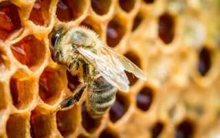 Лечение простатита и аденомы пчелиным подмором
