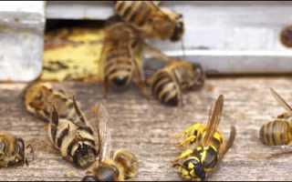 Как бороться с осами на пасеке осенью и защитить пчёл
