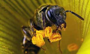 Пчелиный подмор для мужчин: применение, рецепт приготовления