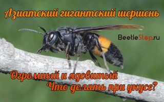 Пчела-тигр или гигантский азиатский шершень – описание, образ жизни, места обитания, опасность, что делать при укусе