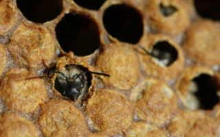 Расплод пчел — мешотчатый и другие виды, лечение (фото и видео)