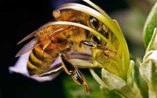 Пчелы настоящие – классификация семейства, описание, биология, распространение, особенности поведения