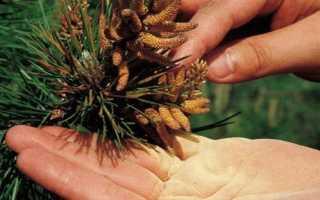 Сосновая пыльца – полезные свойства как принимать