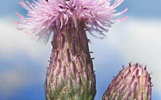 Шалфей как медонос – описание и виды растения, распространение и медоносность