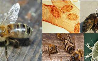 Акарапидоз пчел — лечение народными средствами (фото)