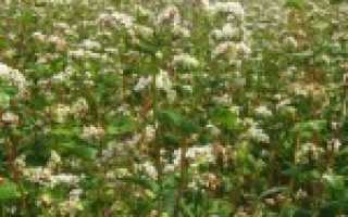 Гречиха как медонос – описание, медопродуктивность, агротехника, характеристика и полезные свойства гречишного меда