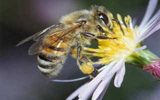 Северная пчела: особенности породы и меда