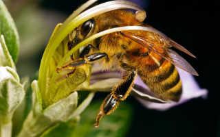 Порода — среднерусская пчела