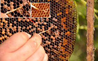 Симптомы и лечение: гнилец у пчел