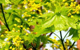 Медоносные деревья и кустарники – описание, польза, время цветения и медопродуктивность